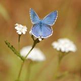亚多尼斯蓝色蝴蝶宏指令 库存图片