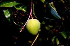 亚尔方索芒果成熟绿色 免版税库存图片
