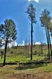 亚帕基Sitgreaves国家森林2002年圈地Chediski火再生物在2018年,亚利桑那,美国 免版税库存图片