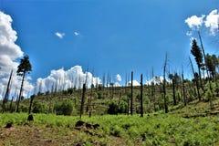 亚帕基Sitgreaves国家森林2002年圈地Chediski火再生物在2018年,亚利桑那,美国 免版税图库摄影