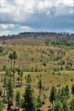 亚帕基Sitgreaves国家森林2002年圈地Chediski火再生物在2018年,亚利桑那,美国 图库摄影