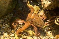 亚得里亚海的章鱼红海 免版税库存图片