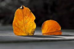 亚斯本叶子样式宏指令视图 反对太阳光的五颜六色的桔子叶子 秋天季节静物画照片 免版税库存图片