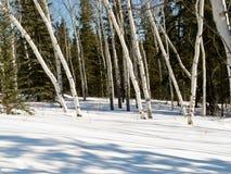亚斯本在冬天北方森林taiga的树凹线 库存照片