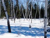 亚斯本在冬天北方森林taiga的树凹线 图库摄影