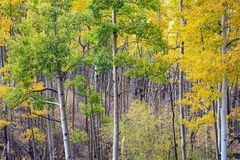 亚斯本树丛在圣菲国家森林里在秋天 库存图片