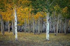 亚斯本树丛在犹他 库存图片