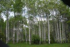 亚斯本树丛 库存图片
