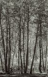 亚斯本树丛-黑色和白色 免版税库存图片