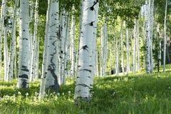 亚斯本树和哥伦拜恩花树丛在Vail科罗拉多 免版税图库摄影