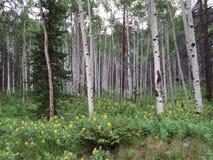 亚斯本树和黄色野花 图库摄影
