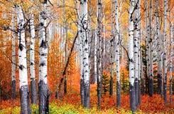 亚斯本树在秋天时间的班夫国家公园 库存图片