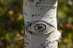 亚斯本树干细节眼睛 免版税库存图片