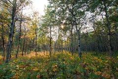 亚斯本树树丛在swiftcurrent足迹的阳光下在冰川国家公园的许多冰川区域在蒙大拿美国 免版税图库摄影