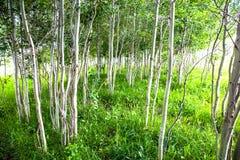 亚斯本树树丛 免版税图库摄影