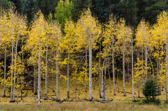 亚斯本树流洒了他们的黄色叶子 库存照片