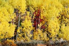 亚斯本树白色树干桦树森林金黄叶子原野 库存照片