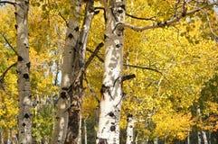 亚斯本树的金黄黄色秋天叶子 库存照片