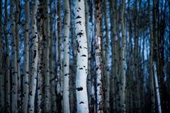 亚斯本树皮在冬天 库存图片