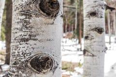 亚斯本树皮纹理 库存图片