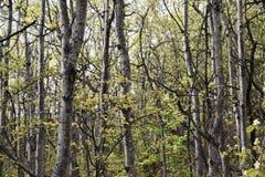 亚斯本树立场在森林里 免版税库存图片