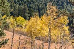 亚斯本树草甸与金黄叶子的 库存图片
