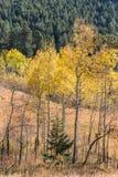 亚斯本树草甸与围拢小p的金黄叶子的 免版税库存图片