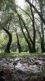 亚斯本树,三角叶杨 库存照片