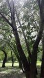 亚斯本树,三角叶杨 免版税图库摄影