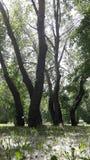 亚斯本树,三角叶杨 免版税库存图片