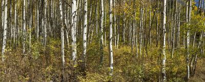 亚斯本树 库存图片