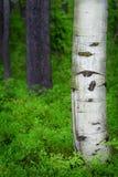 亚斯本桦树在森林里 免版税库存照片