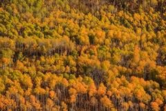 亚斯本森林 库存图片