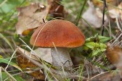 亚斯本蘑菇在森林里 免版税库存照片