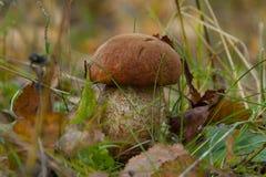 亚斯本蘑菇在森林里 免版税库存图片