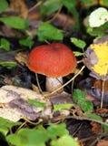 亚斯本蘑菇或橙色盖帽牛肝菌蕈类 免版税库存图片