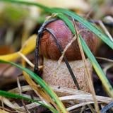 亚斯本蘑菇红色(Leccinum rufum) 图库摄影