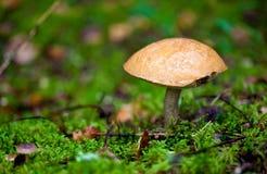 亚斯本蘑菇 免版税图库摄影
