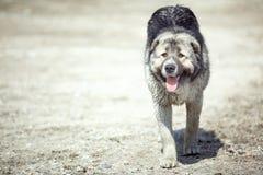 亚洲中间护羊狗 免版税图库摄影
