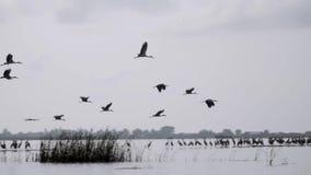 亚洲人Openbill鸟Anastomus oscitans群本质上在Thale Noi水鸟的预留湖,泰国 股票视频