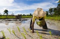 亚洲农夫米 免版税库存图片