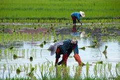 亚洲农夫米 库存照片
