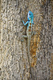 亚洲变色蜥蜴 库存照片