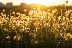 亚洲在日落时间的野草花 图库摄影