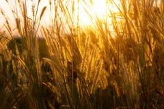 亚洲在日落时间的野草花 免版税库存图片