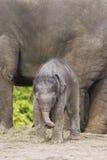 亚洲大大象开玩笑小的妈妈 免版税图库摄影