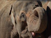 亚洲大象亚洲象属题头maximus 免版税库存图片