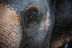 亚洲大象亚洲象属maximus的眼睛 关闭视图 免版税库存图片