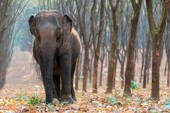 亚洲大象在天时间的一个森林里在北碧省 库存照片