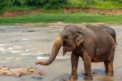 亚洲大象在河 免版税库存图片